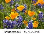 california poppies ... | Shutterstock . vector #607100246