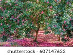 Beautiful Blooming Camellia...