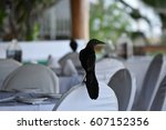 The Mexican Grackle Quiscalus...