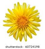 Beautiful Yellow Dahlia Flower Isolated on White Background - stock photo