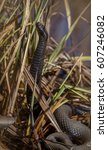 Small photo of Dark colored European Adder, Vipera berus, standing with high lifted head Norway