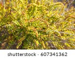 Small photo of Suaeda vera or alkali seepweed or shrubby sea-blite green and red plant