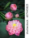Roseum Plenum Lotus   Nelumbo...