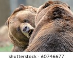 Alaskan brown bears (grizzly) - stock photo