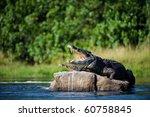 Nile Crocodile. Two Crocodiles  ...