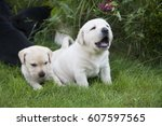 Labrador Puppy Outside