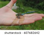 A Huge Blue Dragonfly With...