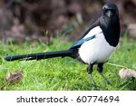 Magpie On Grass With Autumn...