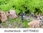 Small photo of Paraponera clavata in web