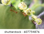 Two Red Ants On Cactus