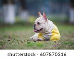 The French Bulldog In Outdoor...