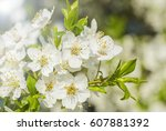nice plum flowers on branch | Shutterstock . vector #607881392