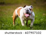 Small photo of Happy bulldog