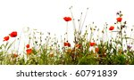 Field Of Red Poppies  Isolated...