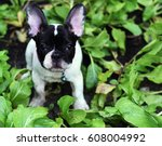 Stock photo french bulldog puppy dog destroy vegetable garden with proud face 608004992