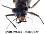 insect tiger beetle isolated on white - stock photo