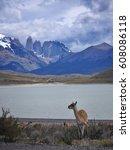 guanaco in natural habitat ... | Shutterstock . vector #608086118