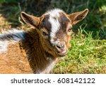 Little Goat Portrait