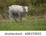 Image Of White Cow On Nature...