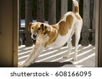 fox terrier dog stretching at... | Shutterstock . vector #608166095