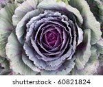 Ornamental Cabbage