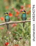bee eater  mating season | Shutterstock . vector #608242796