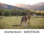 kangaroo  grampians  victoria ... | Shutterstock . vector #608255636