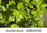 Celery Leaves Growing In The...
