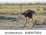 female of the common ostrich... | Shutterstock . vector #608407856