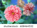 Pink Dahlia Blooming In The...