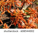 coral aloe striata flowers and
