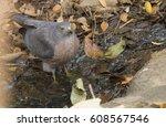 Small photo of Falcon in nature,Shikra (Accipiter badius)