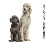 Poodle 3 And 6 Years Old...