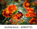 striped bee gathers honey from... | Shutterstock . vector #60869731