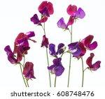 beautiful flowers of sweet pea...   Shutterstock . vector #608748476