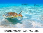 The Green Sea Turtle  Chelonia...