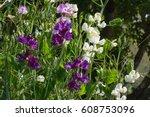beautiful flowers of sweet pea...   Shutterstock . vector #608753096