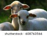 Sheep. Lambs