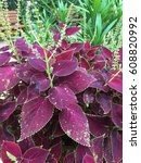 Small photo of purple coleus and green leaves background