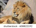 gorgeous golden african lion... | Shutterstock . vector #608822192
