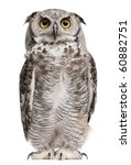 Stock photo great horned owl bubo virginianus subarcticus in front of white background 60882751