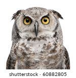 Stock photo great horned owl bubo virginianus subarcticus in front of white background 60882805