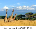 Three Giraffe On Kilimanjaro...