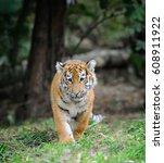 Close Up Siberian Tiger Cub In...