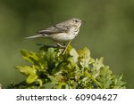 tree pipit   anthus trivialis | Shutterstock . vector #60904627