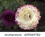 pied ranunculus for... | Shutterstock . vector #609069782