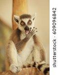 Cute Funny Ring Tailed Lemur I...