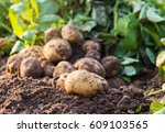 fresh organic potatoes in the... | Shutterstock . vector #609103565
