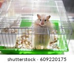 Stock photo a hamster is in a cage the hamster looks out of the cage 609220175