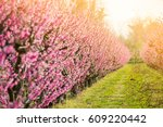 Fruit Trees In Spring Blossom